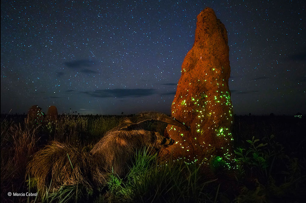 The night raider', by Marcio Cabral. Source: Wildlife Photographer of the Year
