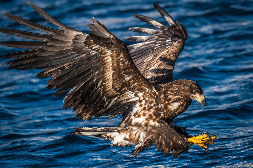 A white-tailed eagle going fishing on the Shiretoko Peninsula. Source: Getty